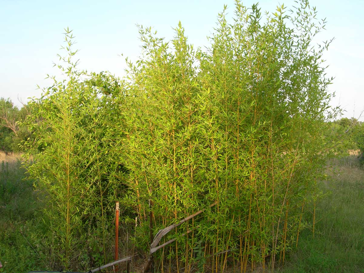 phyllostachys aurea bamboobill 39 s june 2007 buckholts tx usa bamboo flora gallery. Black Bedroom Furniture Sets. Home Design Ideas