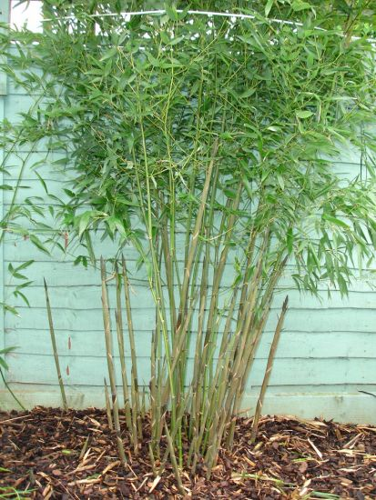 phyllostachys shoots growing at an angle page 5. Black Bedroom Furniture Sets. Home Design Ideas