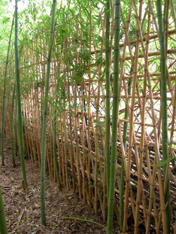 bamboo fence phyllostachys aurea austin tx usa bamboo arts and crafts gallery. Black Bedroom Furniture Sets. Home Design Ideas